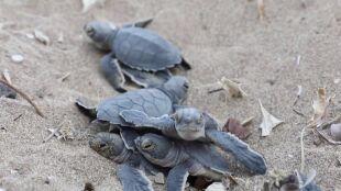"""Gwałtowna pogoda i zmiany klimatu zagrażają żółwiom. """"Straciliśmy wiele gniazd"""""""