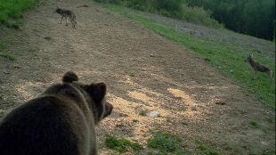 """Niedźwiedź spotkał się z wilkiem. """"To nie zdarza się często"""""""