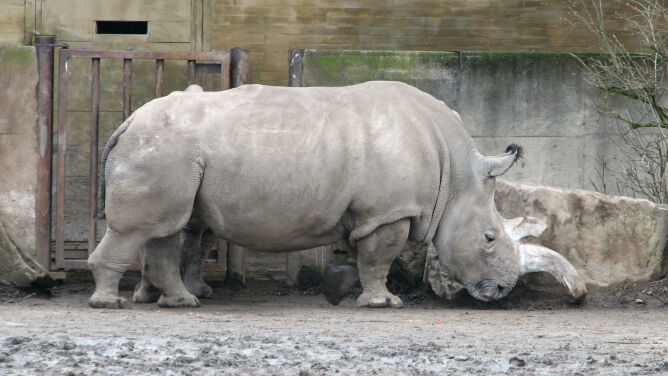 Zdechł jeden z ostatnich północnych nosorożców białych. Po ziemi chodzą już tylko cztery