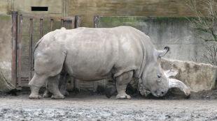 Nadzieja umiera ostatnia. Walka o przetrwanie nosorożców białych północnych
