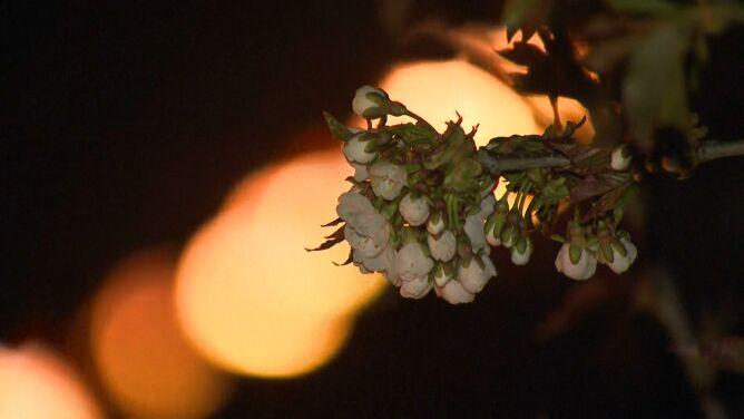 Łagodna zima i wiosenne przymrozki. By ratować plony, ustawiają kosze z ogniem