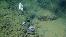 Jedna z nowo odkrytych ośmiornic